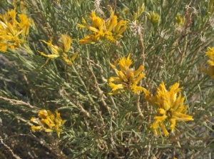 Flower of the day: Wild Rabbitbush