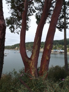 Madrone Tree.  They are everywhere