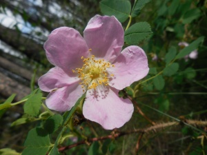Flower of the Day:  The Alberta Rose