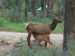 Baby elk and her momma