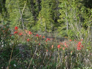 Flower of the Day:  Indian Paint Brush
