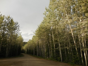 Aspens lining the road into Moose Creek Campground
