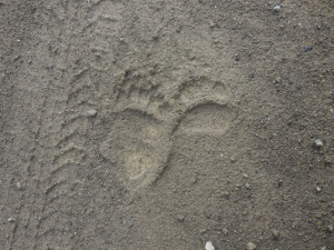 Hey grandkids, is this bear tracks?